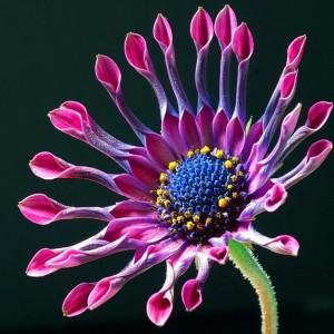 africanflower